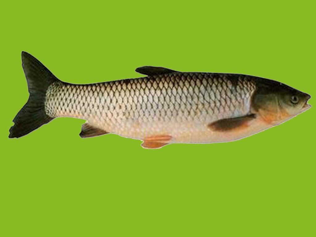 Carp fish - photo#23
