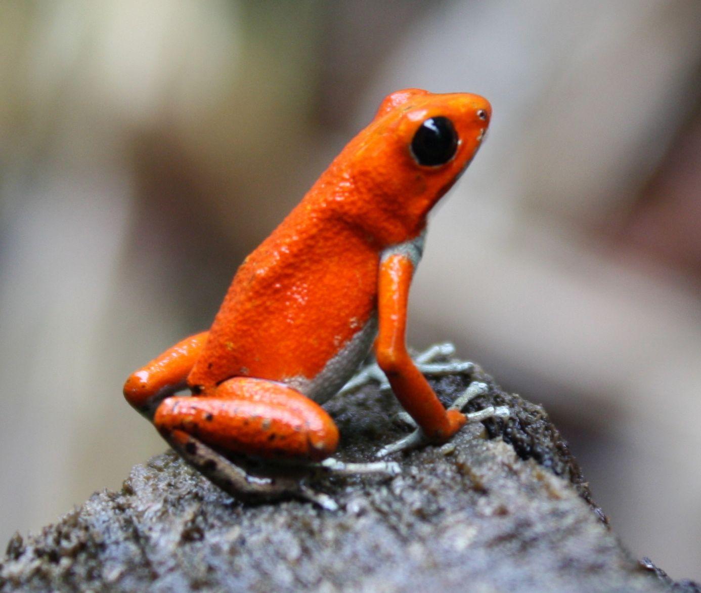 http://1.bp.blogspot.com/-3ixXQK8AyxQ/TiQ8dIuBeuI/AAAAAAAAAx8/aer-6FLvsyI/s1600/red_frog.jpg