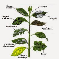 principales plagas y enfermedades que nos podemos encontrar