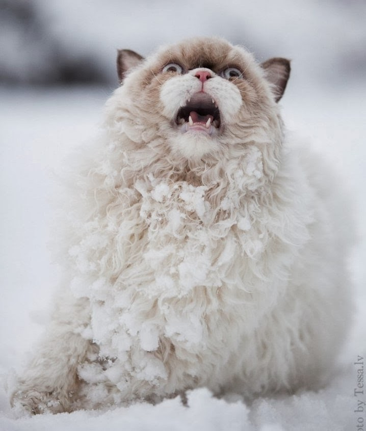 snow cat screaming