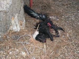 Skunk carcass