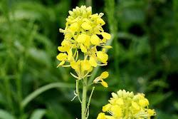 Flor de Xaramago