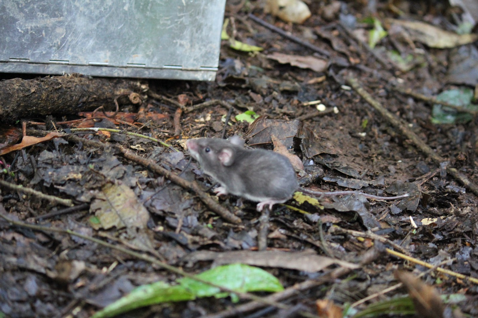 Mexico Rodent Species Rodent Species Found in