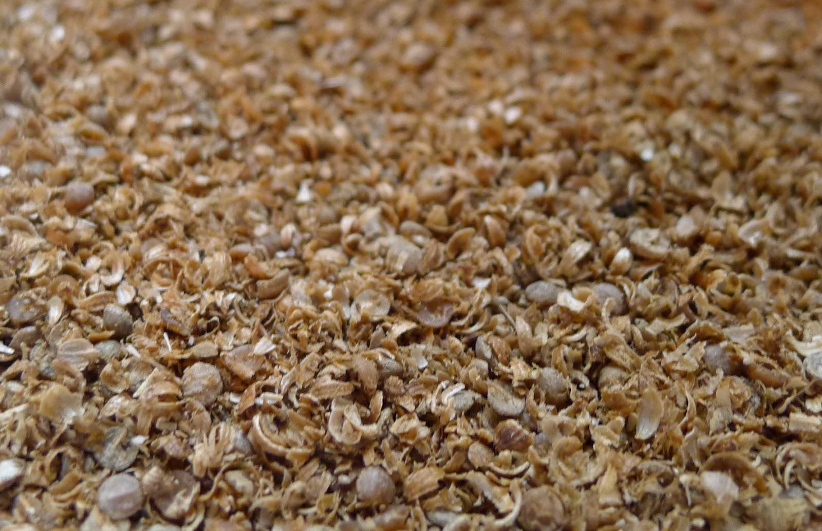 Ground coriander seeds, harvesting seeds