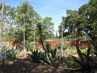 blooming agaves