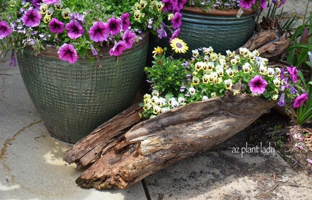 Ramblings From A Desert Garden Growing Annuals An