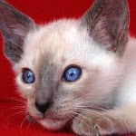 Maintain Cats - 5 Tips on Caring for Siamese Cat Fur