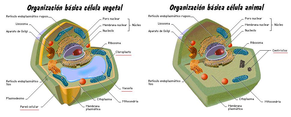 celula vegetal y sus partes. celula vegetal partes.