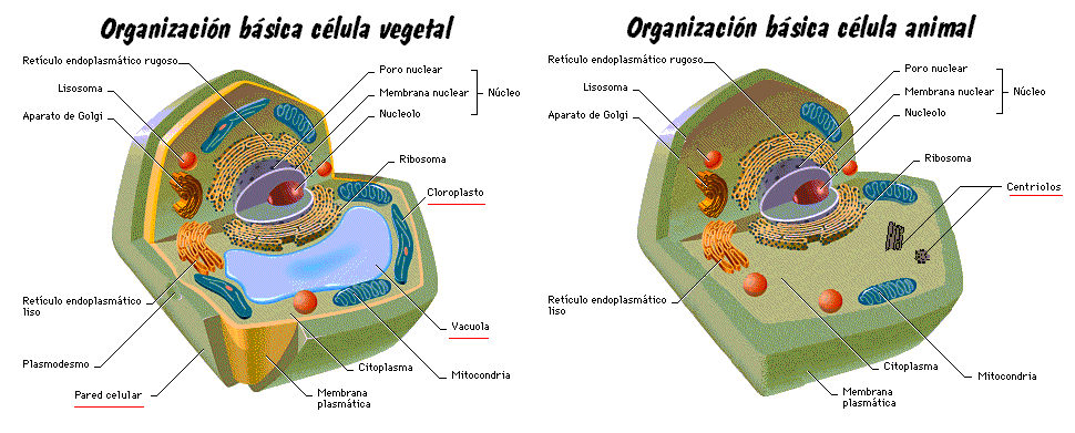imagenes de celula vegetal. imagenes de la celula vegetal.