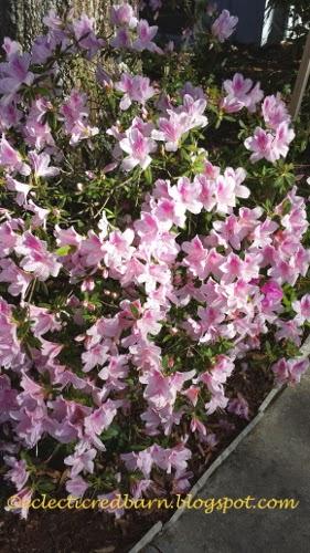 Eclectic Red Barn: Azaleas in bloom