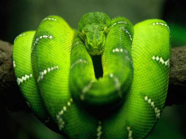 Boa Tree Snake Photos HD Backgrounds 1024x768