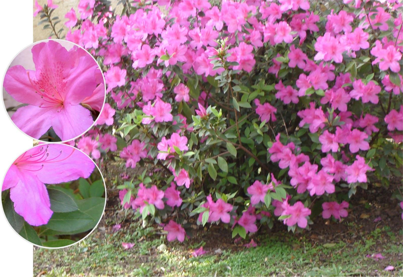 V e r d e c h a c o azaleas rododendro - Rododendro arbol ...