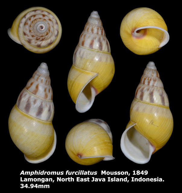 Amphidromus furcillatus 34.94mm
