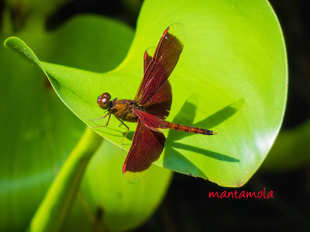 Dragonfly (Neurothemis fluctuans)