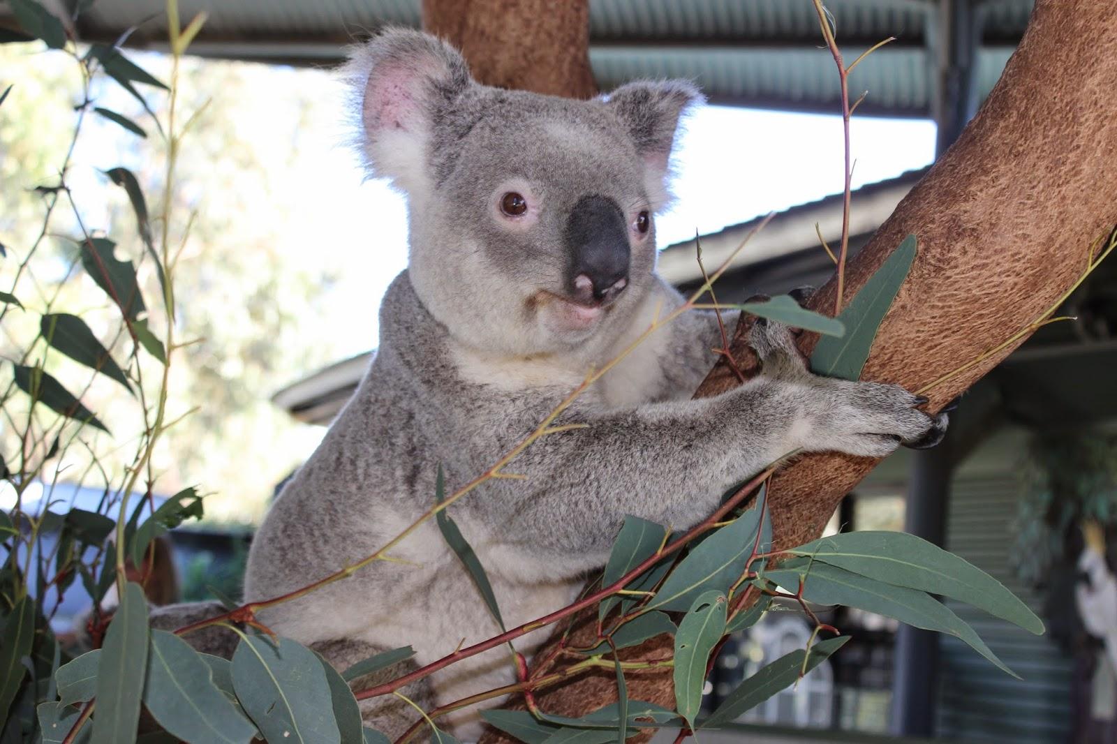 cohunu koala park perth review leonie parker lifestyle. Black Bedroom Furniture Sets. Home Design Ideas