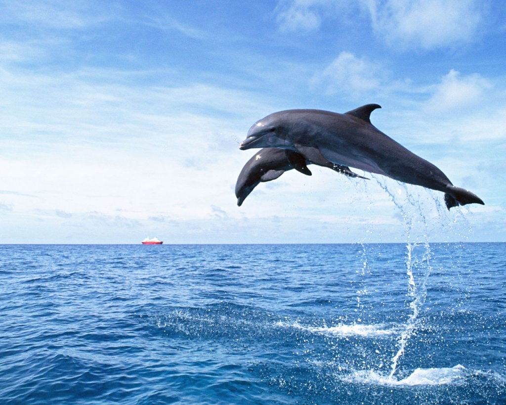 Fun animals news dolphin wallpapers for Dolphin fish pictures