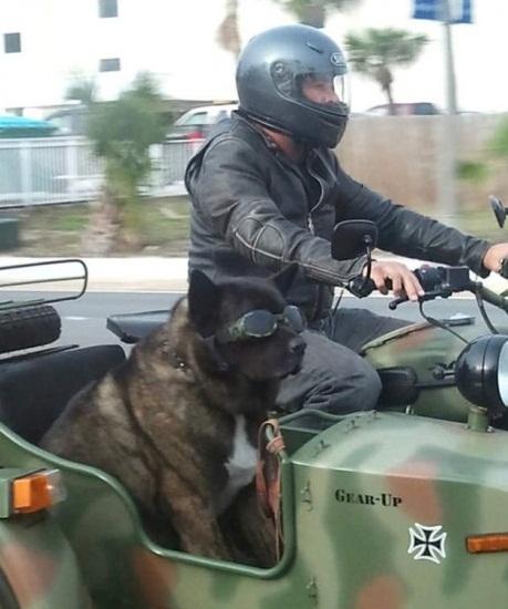 cachorro legal moto garupa oculos motoqueiro gear up nazista motocicleta da segunda guerra mundial