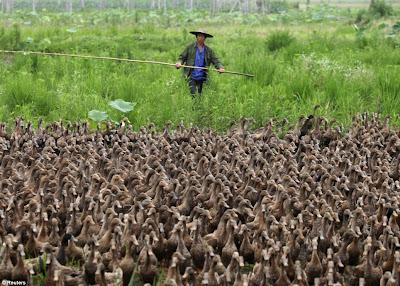 miles de patos caminan por las calles de china con el granjero y su vara