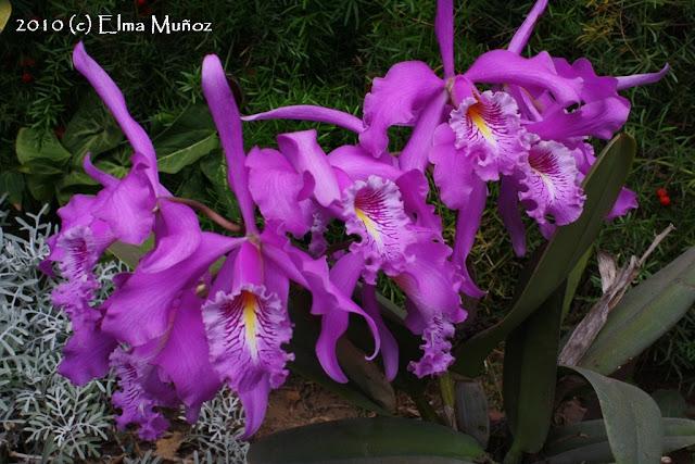 Cattleya Maxima. Foto de varias orquídeas