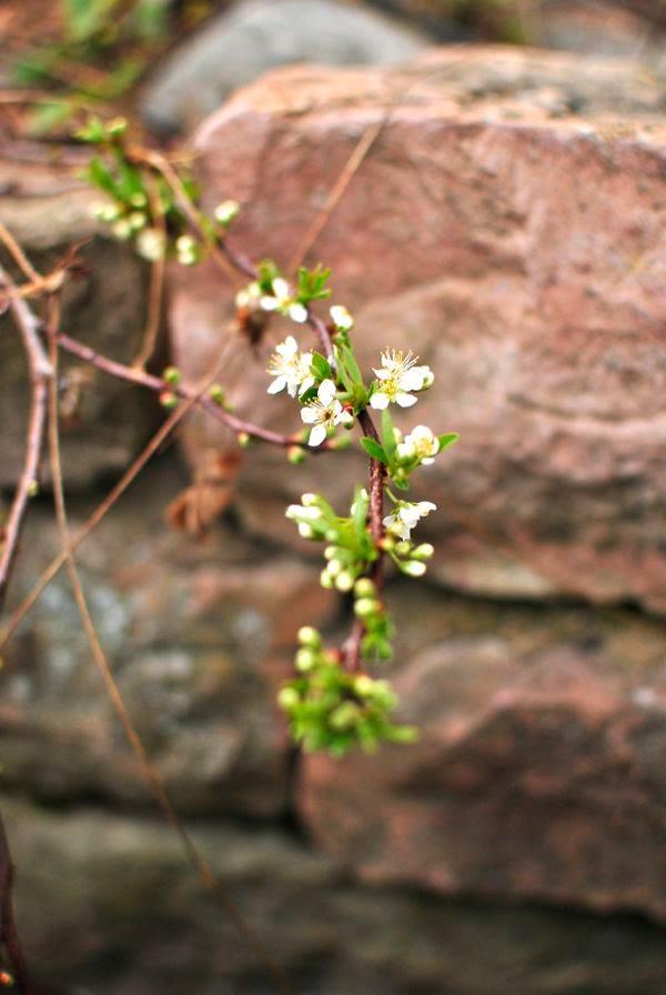 sandkörsbär blommor mur ölandssten