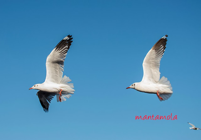 Brown & Black Headed Gull