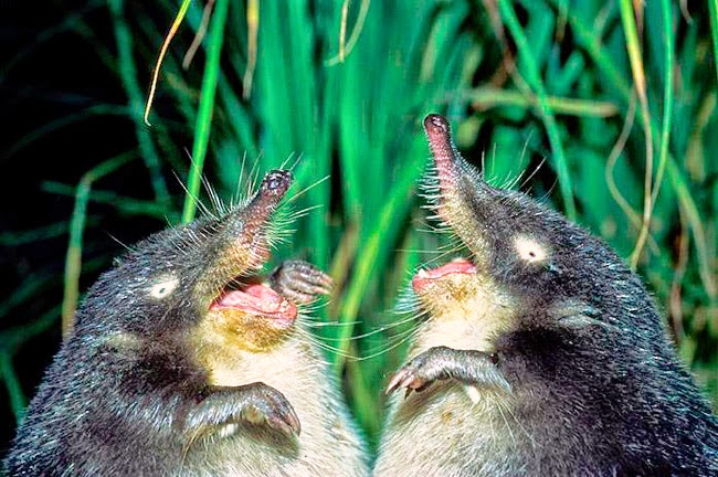 Two moles talking chatting