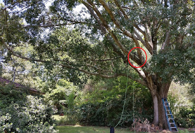 Image of large tree with position of trap circled in red