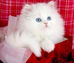 3-albastrul-ochilor-de-pisicuta