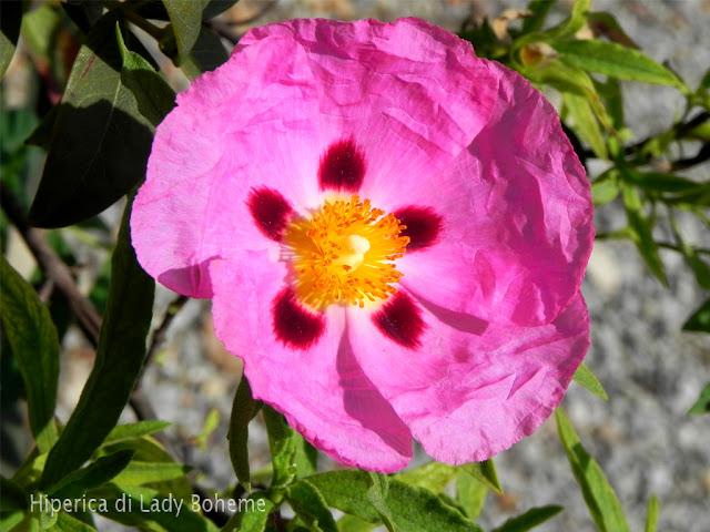 hiperica_lady_boheme_blog_di_cucina_ricette_gustose_facili_veloci_fiore_rosa