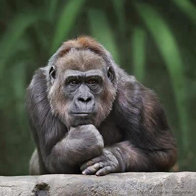 El gorila pensador