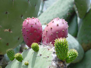 The nopal cactus extract is rich in many nutrients to useful in weight reduction