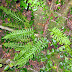 Polypodies: In the Fernery of the Senses