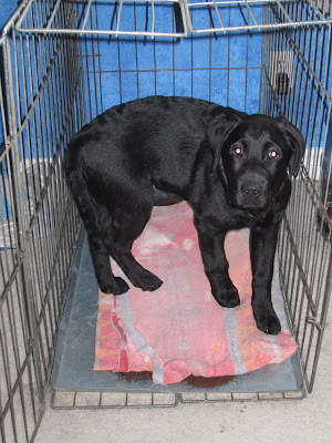 Black lab puppy Romero stands in his large metal kennel in the bedroom with the kennel door open. There is a faded red blanket on the floor of the crate. Romero's body is in a U shape as he has just walked into the kennel and is turning around to await his treat. His eyes are looking upwards expectantly.