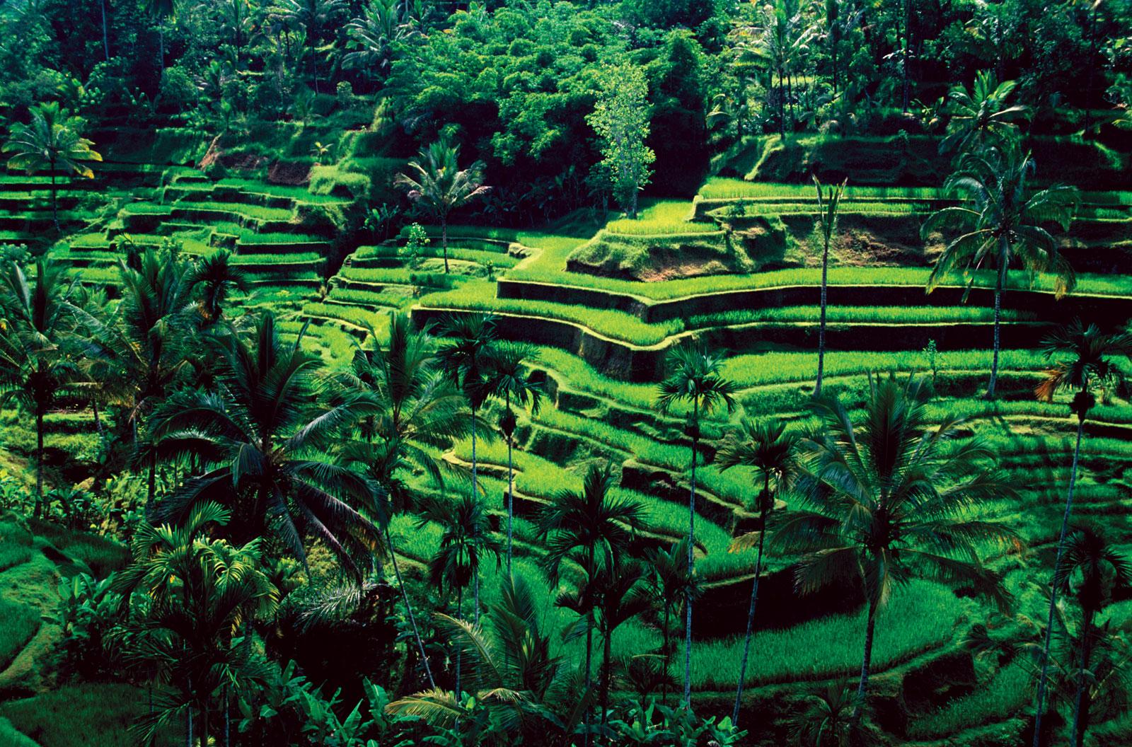 Aditya ubud tour rice terrace for Terrace ubud bali