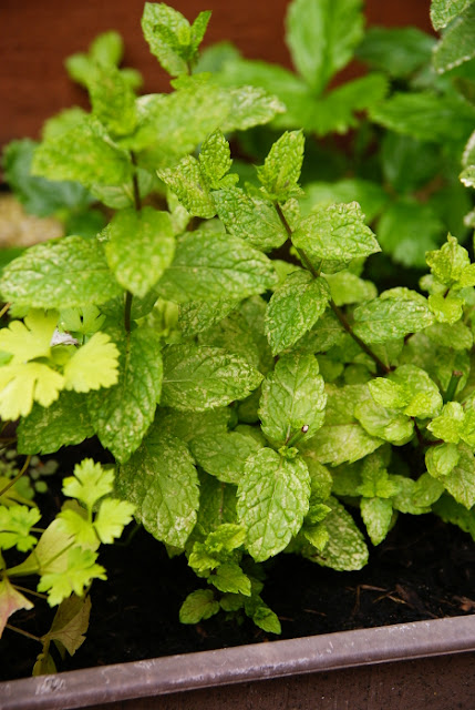 Mint in a container