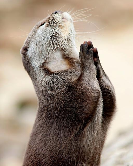 Marac Andrev Kolodzinski - 'praying' sea otter