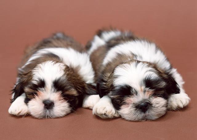 Cute Dogs Sleeping twins