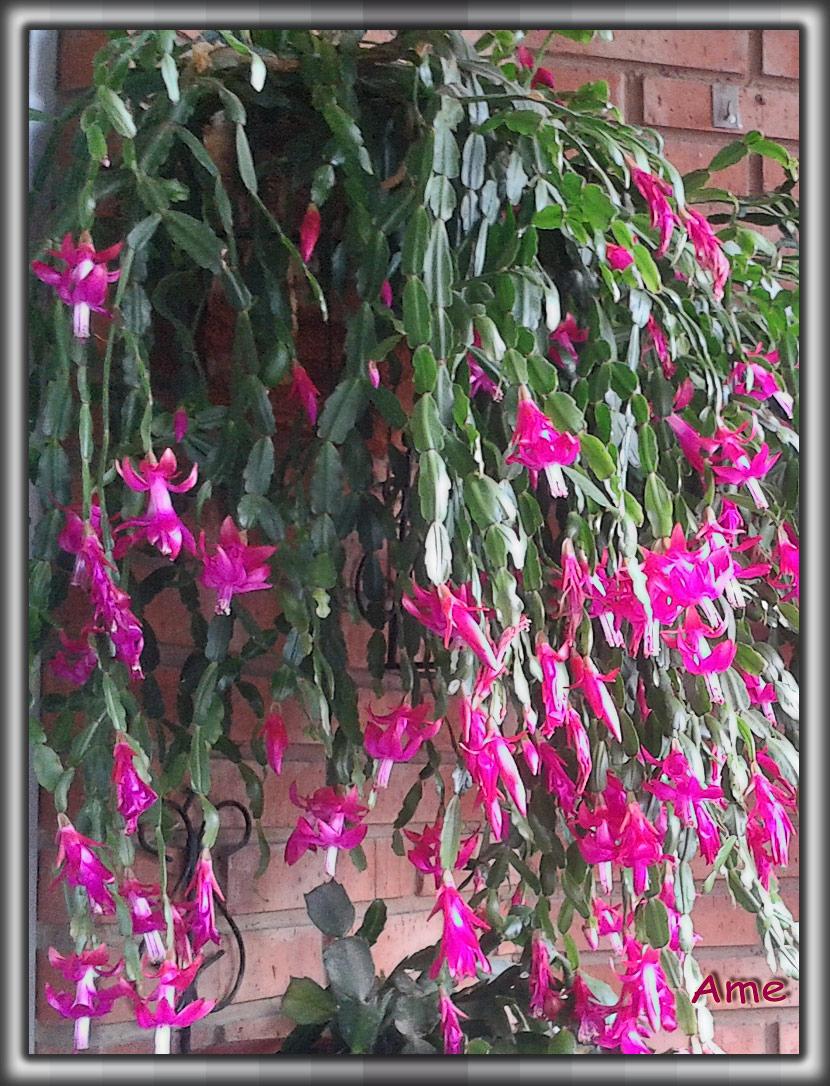 Plantas de La Rioja SCHLUMBERGERA X BUCKLEYI (Cactus de Navidad)