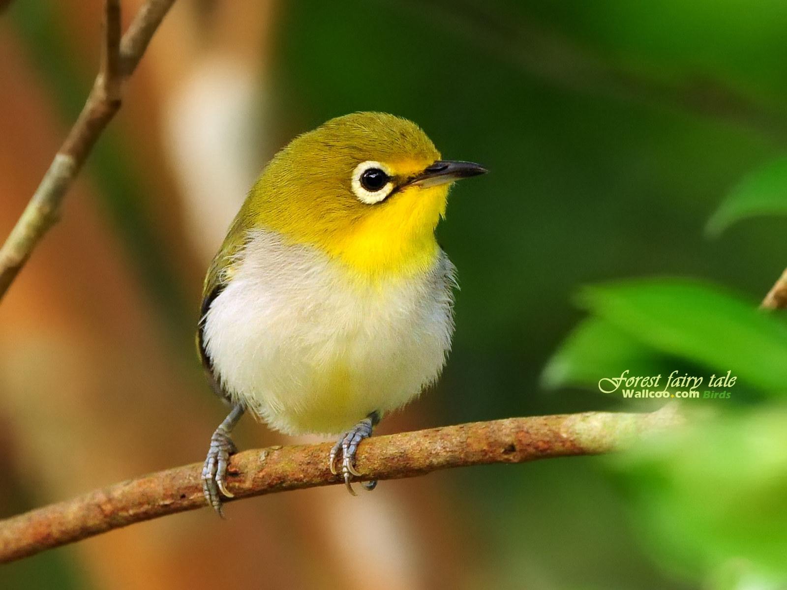 Yellow Bird Name Yellow Cute Little Birds