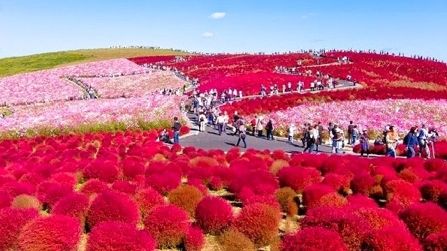 Hitachi Seaside Park Earthly Paradise In Japan Vacation Deals - Vacation in japan