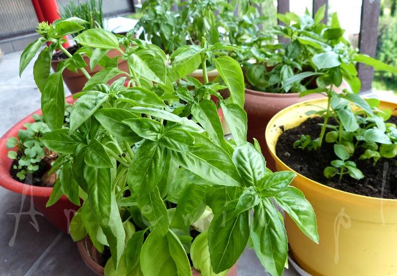 Kostki ziołowe - sprytny sposób na zachowanie świeżości ziół aż do zimy