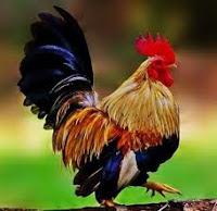 ayam kate sehat