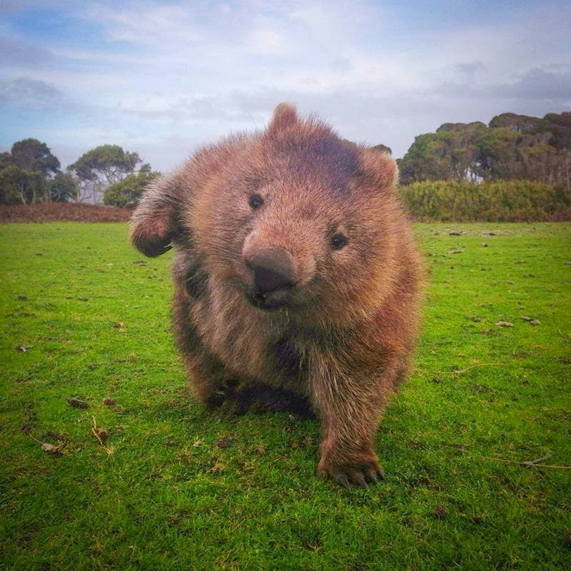 Funny animals of the week - 31 January 2014 (40 pics), wombat poses like superhero from comic book