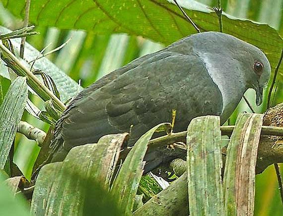Sombre pigeon Cryptophaps poecilorrhoa
