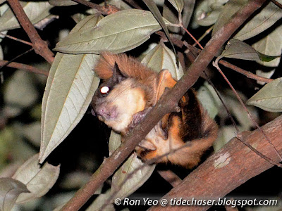 Horsfield's Flying Squirrel (Iomys horsfieldi)