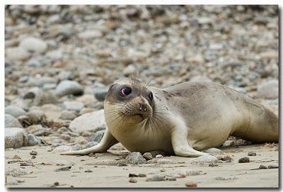 Female Northern Elephant Seal pup glances back at onlookers