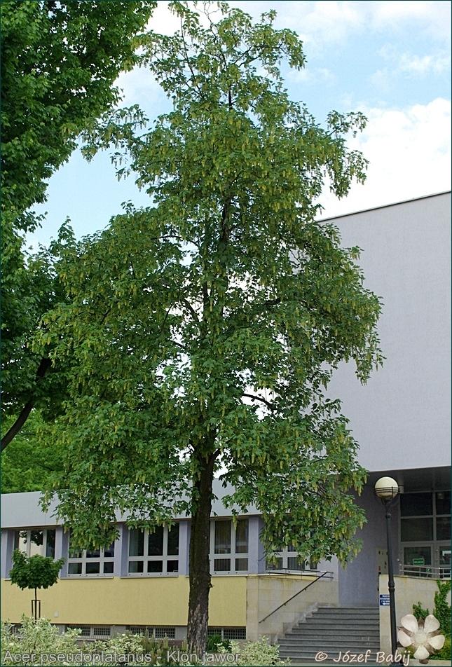 Acer pseudoplatanus - Klon jawor pokrój latem