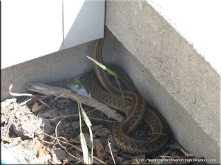 garter snake making its way behind our siding trim at the front of our house