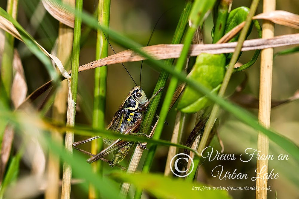 Rosel's Bush-cricket - Lodge Lake, Milton Keynes