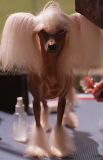 The crested tzu is a mix between a chinese crested and a shih tzu
